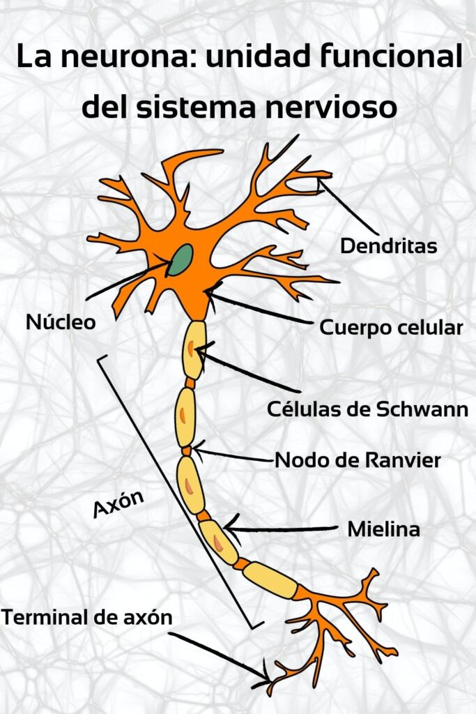 Estructura de la Neurona del sistema nervioso humano.