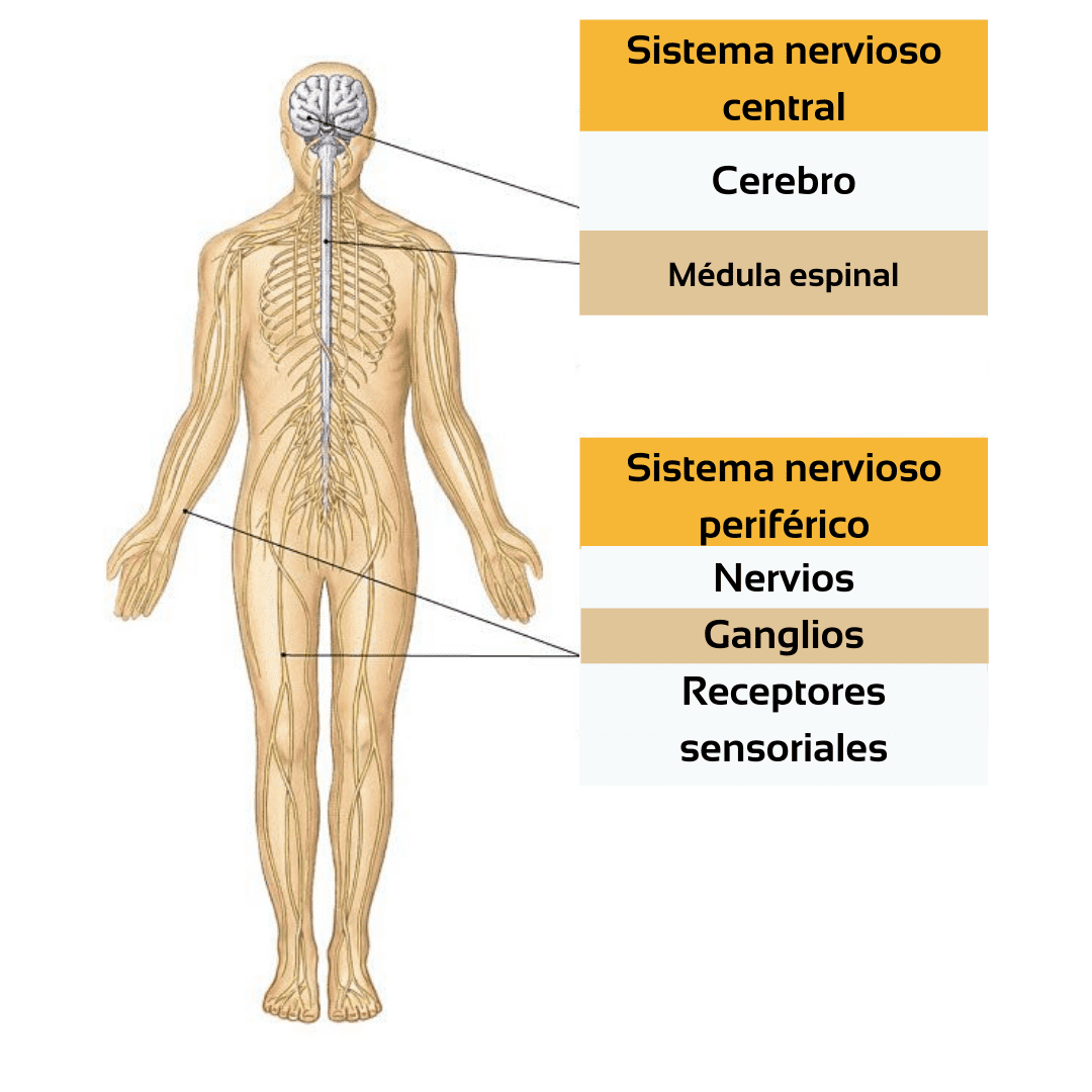 Sistema-nervioso-humano.