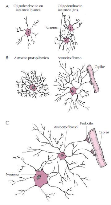 Tipos-de-neuroglia