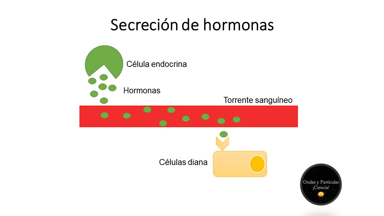 secrecion-de-hormonas