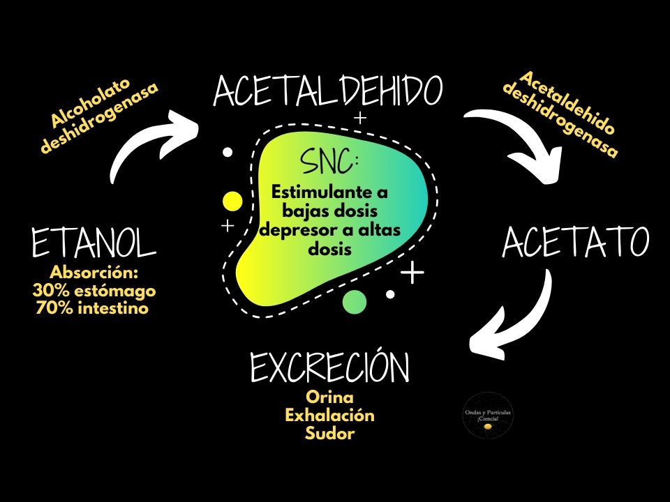 Metabolismo simplificado del alcohol. Intoxicación alcohólica
