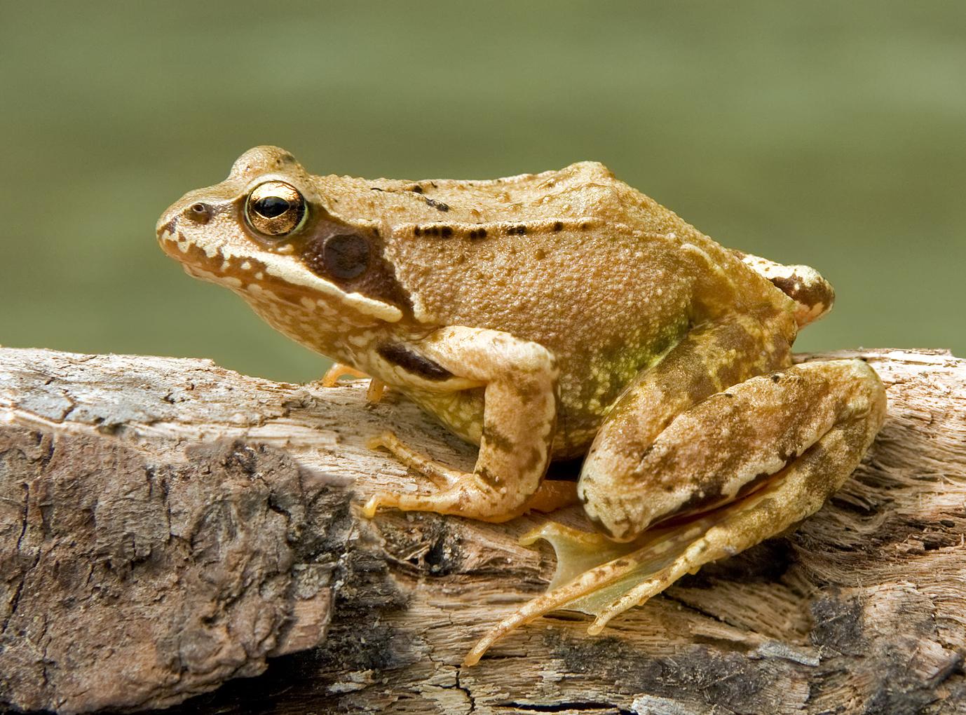 La Rana temporaria fue una de las dos ranas que utilizó Krogh en sus experimentos de capilares.