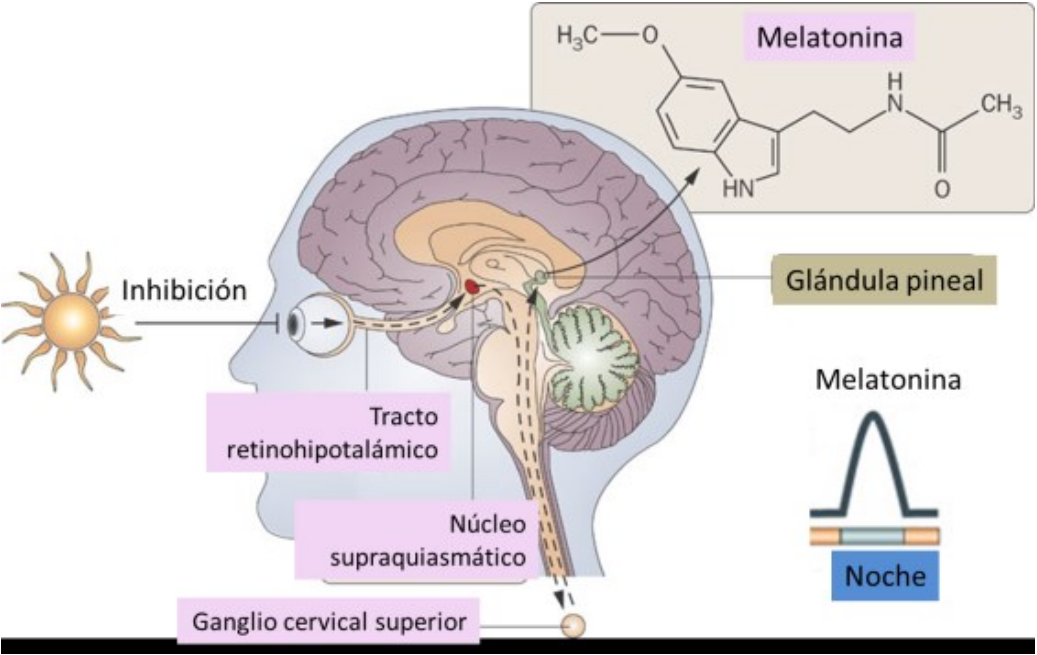 Núcleo supraquiasmático y la glándula pineal. Melatonina. Regulación del sueño.