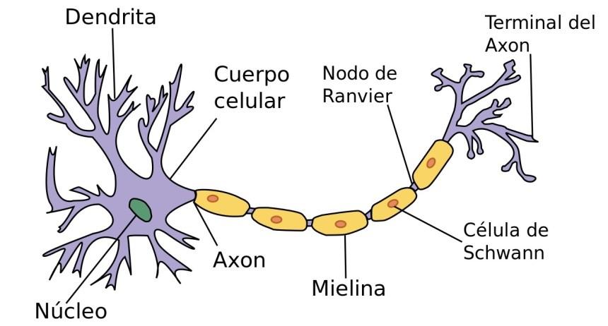 Neurona. Estructura
