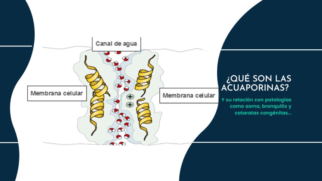 Las-acuaporinas-y-sus-patologias.-Implicaciones-medicas