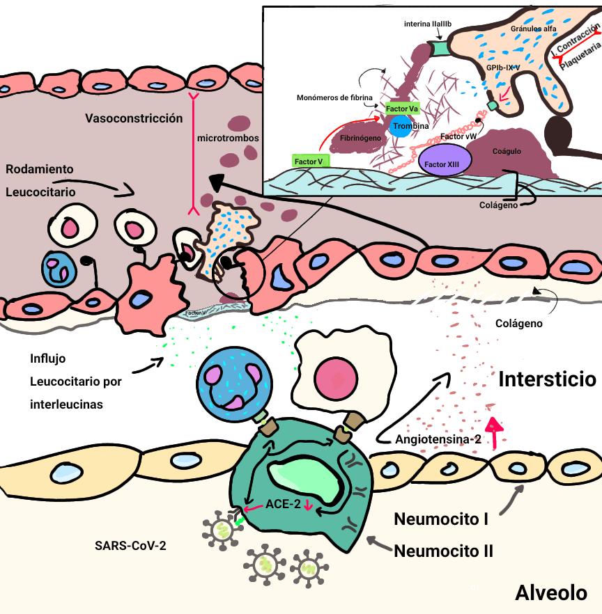 Fisiopatologia daño endotelial covid-19.