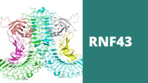 Fosforegulación de la Proteína RNF43 posible diana terapéutica contra el cáncer de colon