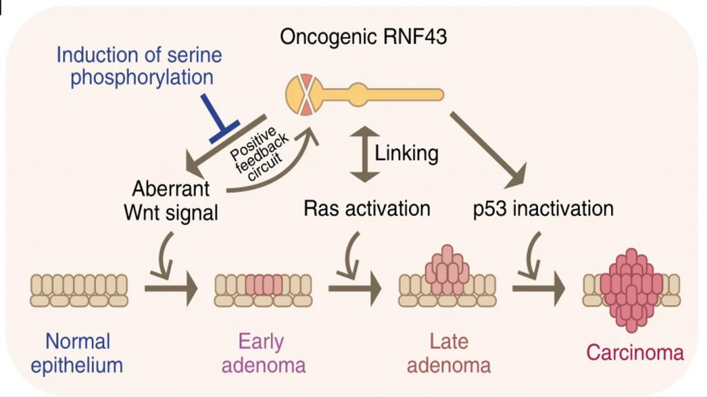 RNF43 cancer de colon