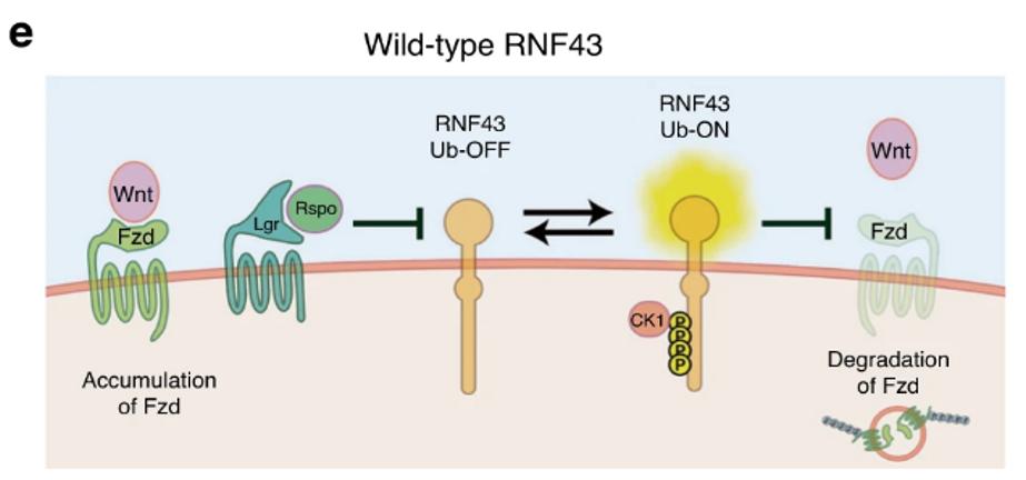 RNF43 cancer de colon wnt
