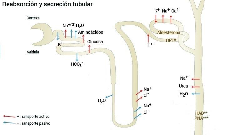 Reabsorción y secreción tubular