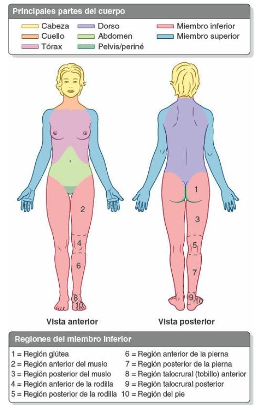 Partes-y-regiones-del-cuerpo-humano