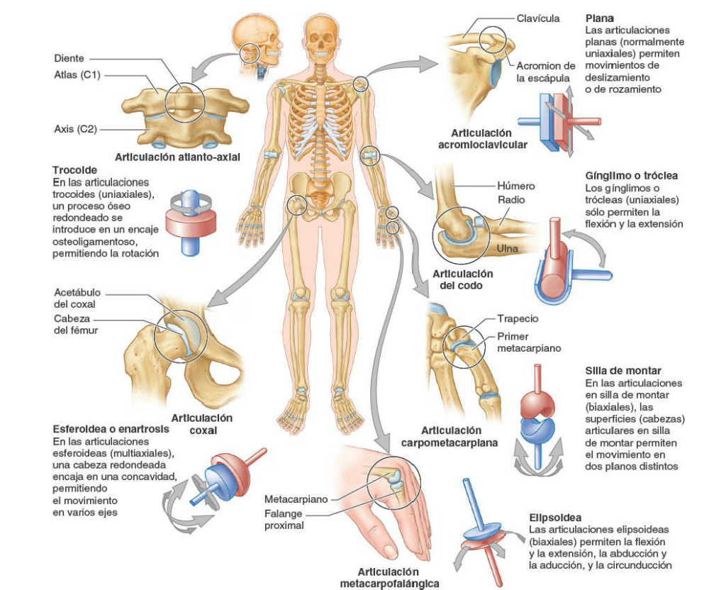 Sistema-articular.  Anatomía sistemática