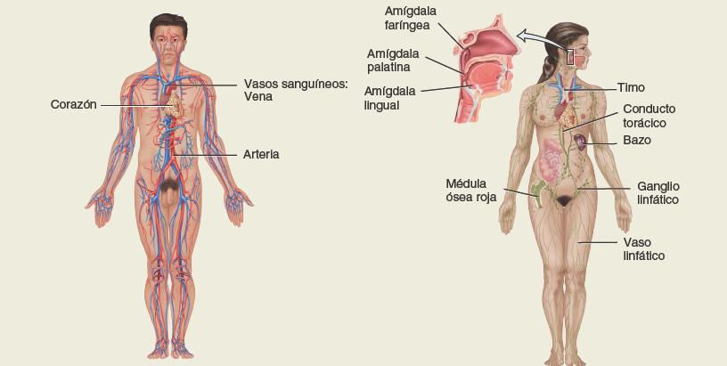Sistema-circulatorio-y-linfatico. Anatomía sistemática