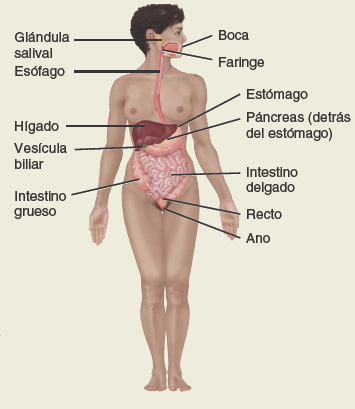 Sistema-digestivo. Anatomía sistemática