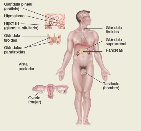 Sistema endocrino. Anatomía sistemática