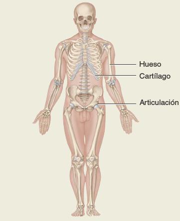 Sistema-esqueletico. Anatomía sistemática