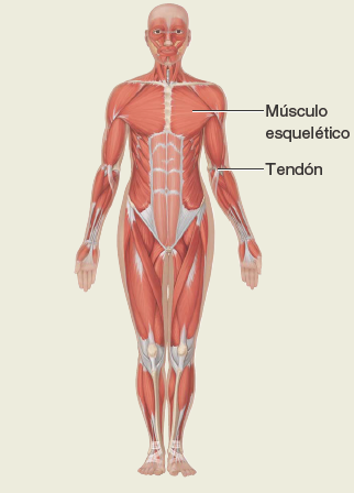 Sistema-musculatorio. Anatomía sistemática