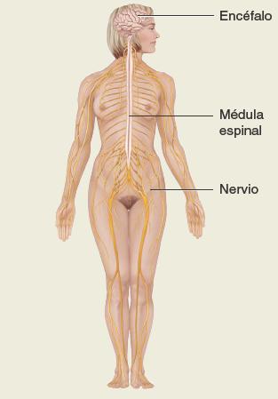 Sistema-nervioso. Anatomía sistemática