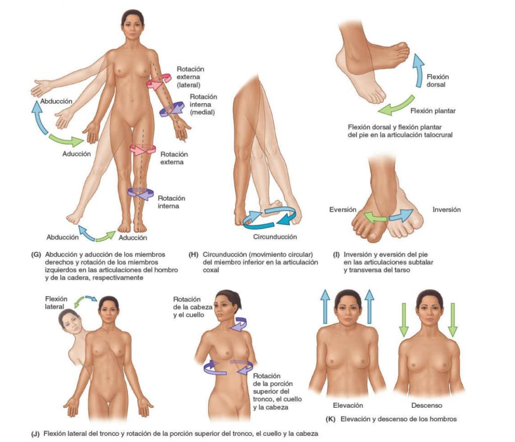 Movimientos anatómicos del miembro inferior circunducción, inversión, eversión, rotación del tronco, elevación, descenso de hombros.