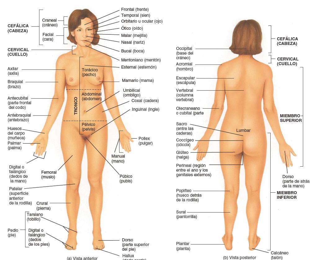Posicion-anatomica-nombres-anatomicos-y-los-nombres-coloquiales