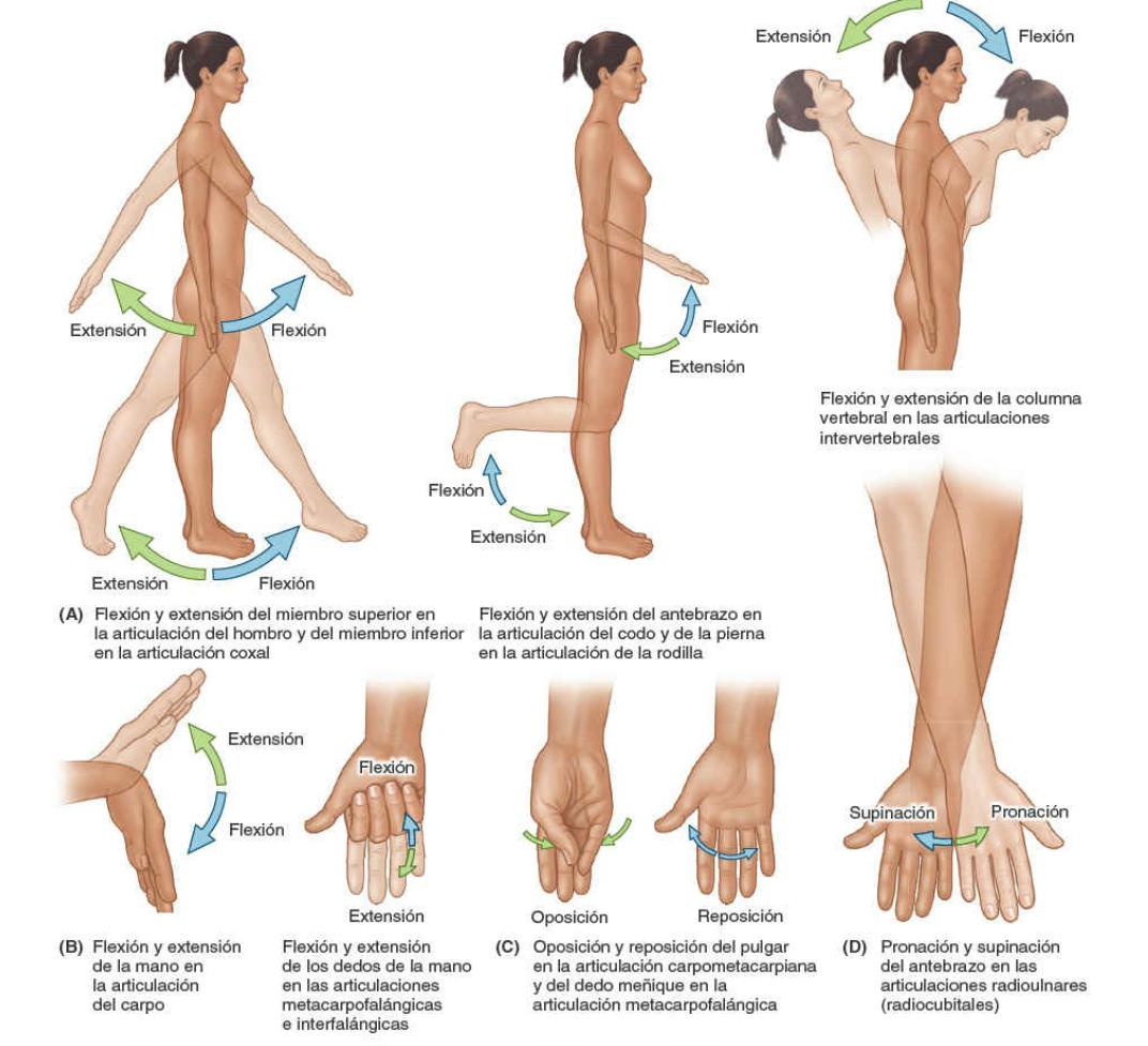 Términos anatómicos de los movimientos de las manos del cuerpo humano