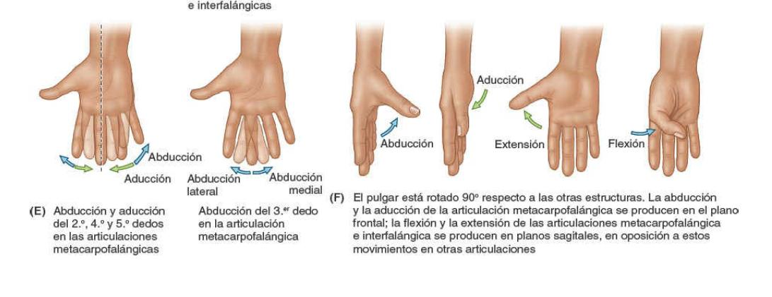 Términos anatómicos de los movimientos de las manos. Aducción, abducción, Extensión y flexión.