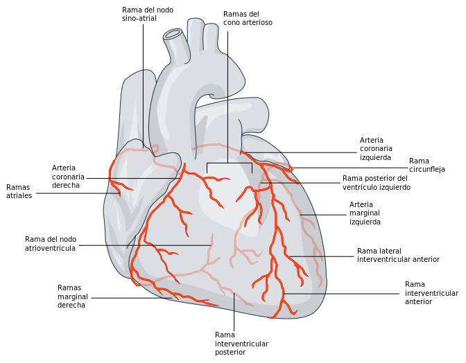 Esquema anatómico: Arterias coronarias del corazón humano. Al obstruirse pueden ocasionar angina, o llegar causar un infarto agudo al miocardio