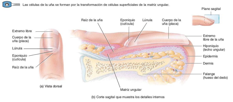 Anatomia-de-las-unas