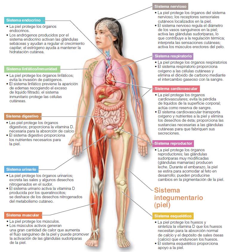 Aportes-del-sistema-tegumentario-al-cuerpo-humano