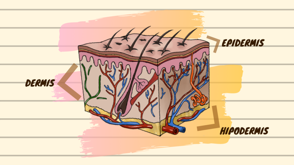 ¿Qué es el sistema tegumentario humano? Estructuras y funciones de la piel.
