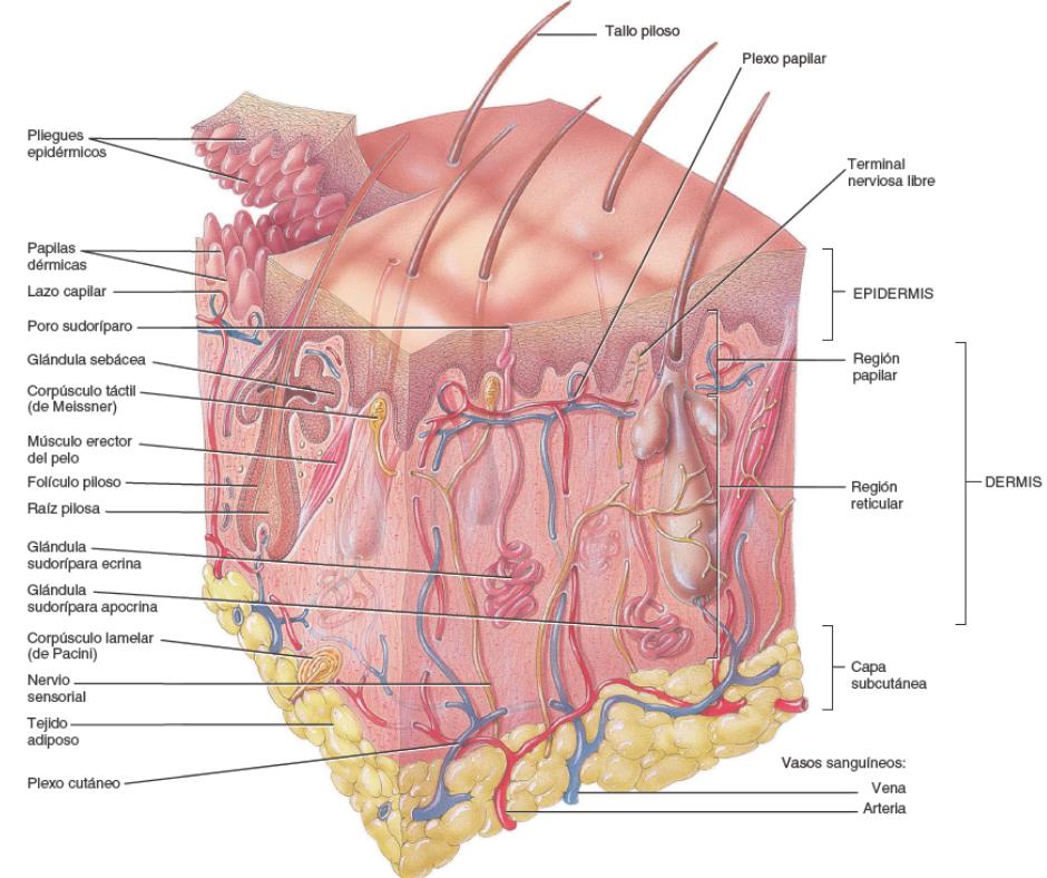 Partes de la piel. Estructura de la piel.
