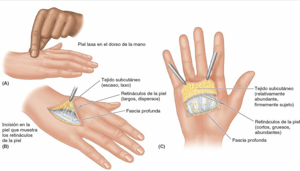 Retinaculos-de-la-piel