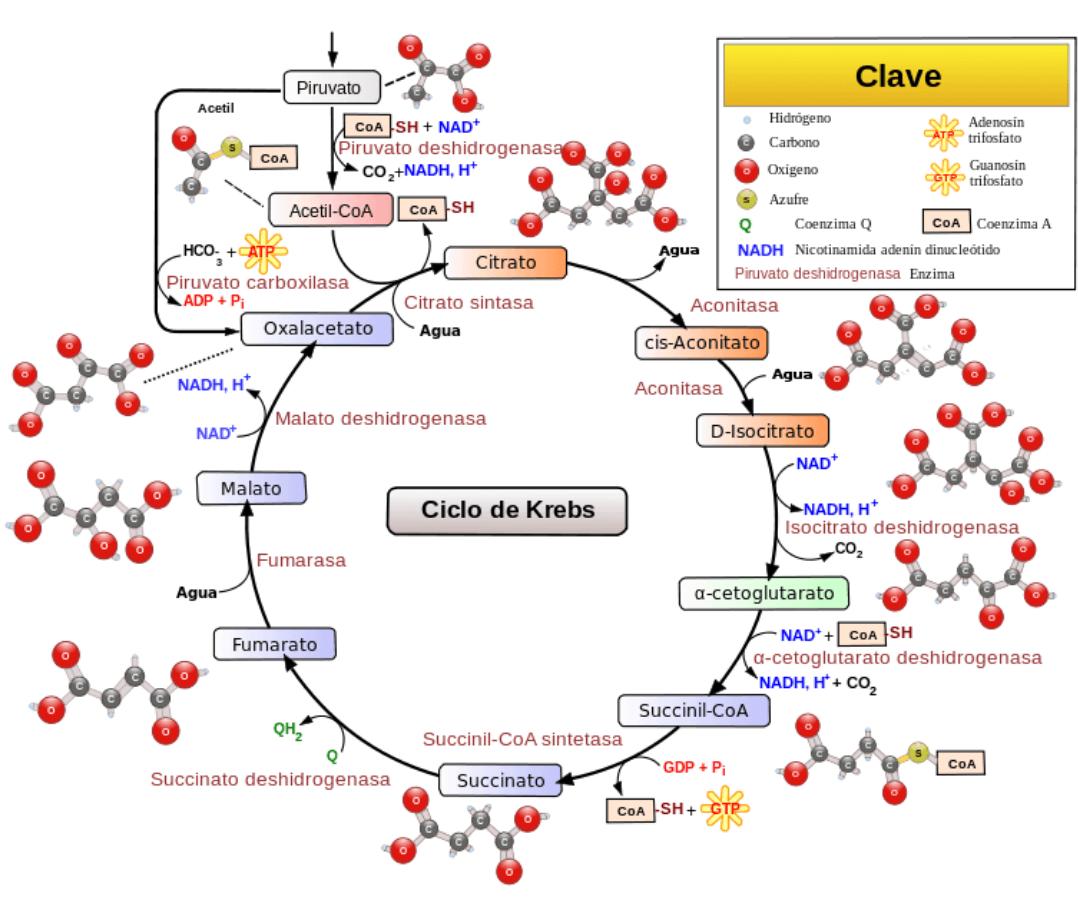 Esquema del ciclo de krebs